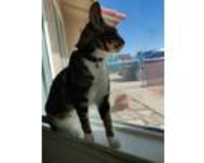 Adopt Luna a Brown Tabby American Shorthair / Mixed cat in Apple Valley