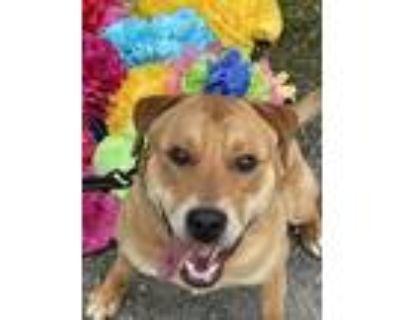 Adopt STANLEY a Yellow Labrador Retriever, Shar-Pei