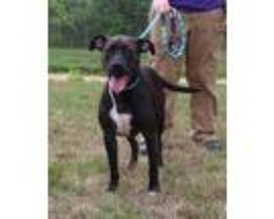 Adopt LUCKY SOSSIDGE a Brown/Chocolate - with Black American Pit Bull Terrier /