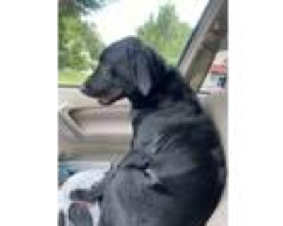 Adopt Money a Black Labrador Retriever / Mixed dog in Tucker, GA (31683082)