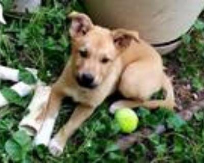 Adopt Renard a White Labrador Retriever dog in Colorado Springs, CO (31937108)