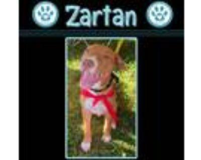 Adopt Zartan 071021 (Honey Buns) a Red/Golden/Orange/Chestnut - with White Hound