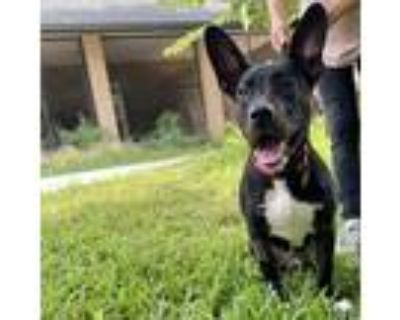 Adopt Conroy a Black Labrador Retriever / Mixed dog in Carrollton, TX (31915547)