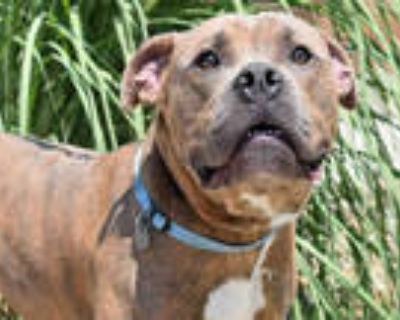 Adopt BRAD PITT a Brindle - with White American Pit Bull Terrier / Mixed dog in