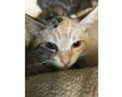 Adopt Cymbal a Orange or Red Domestic Shorthair / Domestic Shorthair / Mixed cat