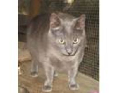 Adopt Blue (& Posie) a Gray or Blue Russian Blue / Mixed (short coat) cat in