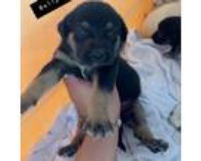 Adopt Belly Dragger a Black Labrador Retriever / Shepherd (Unknown Type) / Mixed