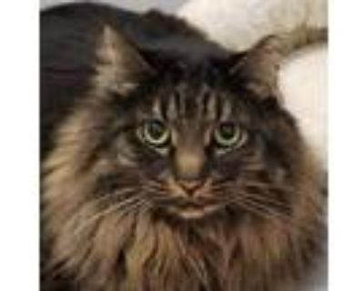Adopt Charlie a Brown or Chocolate Domestic Longhair / Domestic Shorthair /