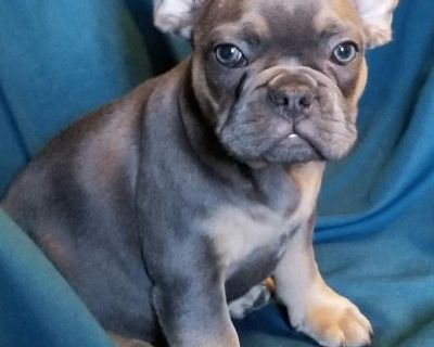 Stunning highest end French Bulldog Puppies