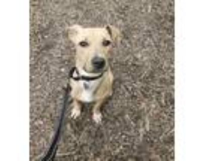 Adopt Pudding a Tan/Yellow/Fawn Retriever (Unknown Type) / American Pit Bull
