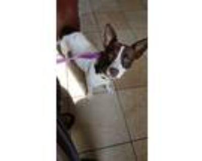 Adopt Perdita a Black Corgi / Jack Russell Terrier / Mixed dog in indianapolis