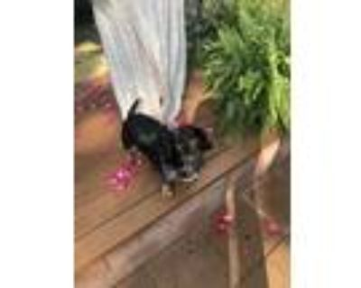 Adopt Snitzel a Black - with Tan, Yellow or Fawn Dachshund / Mixed dog in North