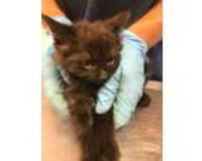 Adopt 48032893 a All Black Domestic Longhair / Domestic Shorthair / Mixed cat in