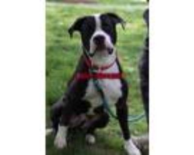 Adopt Chatter a Black Mixed Breed (Large) / Mixed dog in West Chester