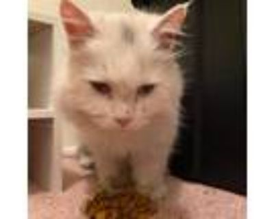 Adopt Shadow Haven a White Domestic Longhair / Mixed cat in Winchester
