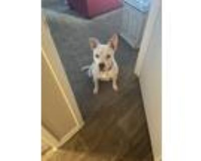 Adopt Lilly a White - with Gray or Silver American Staffordshire Terrier / Mixed