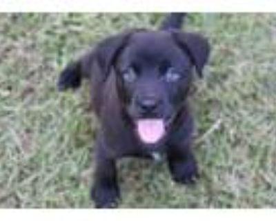 Adopt Honor a Border Collie, Labrador Retriever