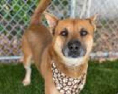 Adopt LOKI a Tan/Yellow/Fawn - with Black Jindo / Jindo / Mixed dog in Gardena