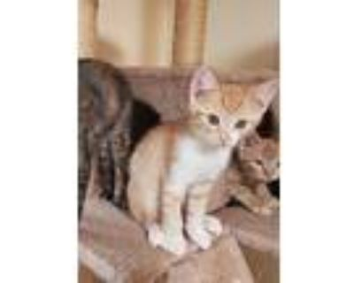 Cleo, Domestic Shorthair For Adoption In Yucca Valley, California
