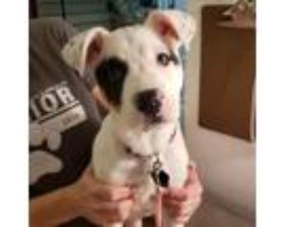 Adopt Zarah a White Blue Heeler / Mixed dog in Wichita, KS (31161440)