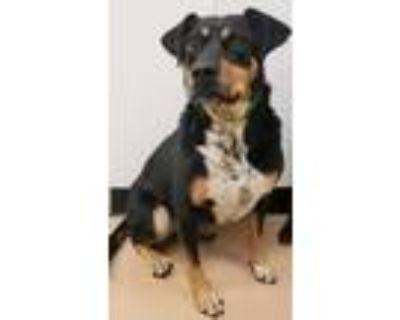 Adopt Bailey a Australian Cattle Dog / Blue Heeler, Mixed Breed