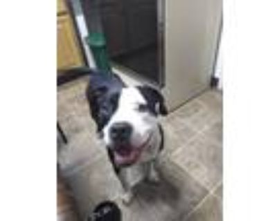Adopt Ares a Black - with White Bull Terrier / Mixed dog in Middletown