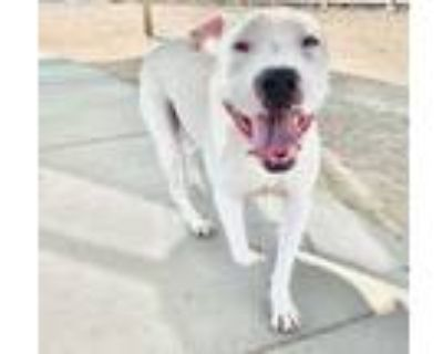 Adopt Snoopy Winston Longfellow a Pit Bull Terrier
