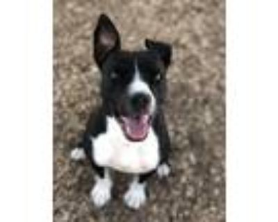Adopt DANI a Black - with White American Pit Bull Terrier / Mixed dog in