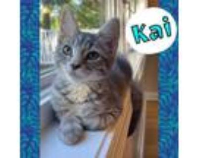 Adopt Kai a Domestic Short Hair, Tabby
