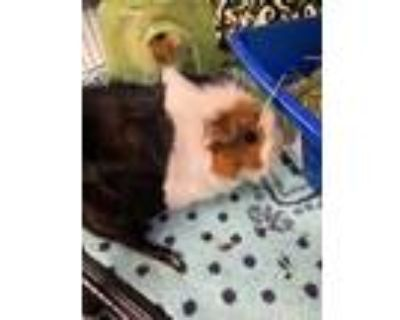 Adopt MAY a Brown or Chocolate Guinea Pig / Mixed small animal in Norfolk
