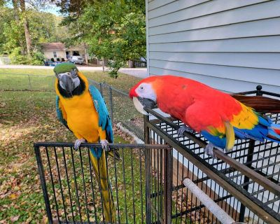 2 Macaw Parrots (Sold as a pair)