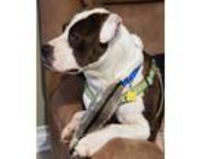 Adopt Rocco a Brindle - with White Bull Terrier / Mixed dog in Cabot