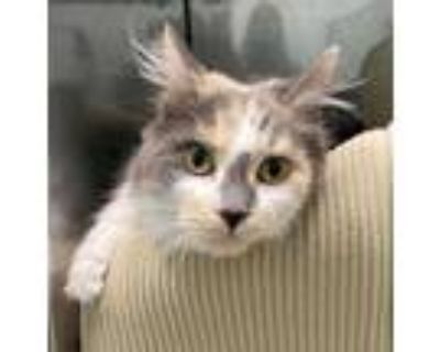 Adopt Tipsy a Gray or Blue Domestic Longhair / Domestic Shorthair / Mixed cat in