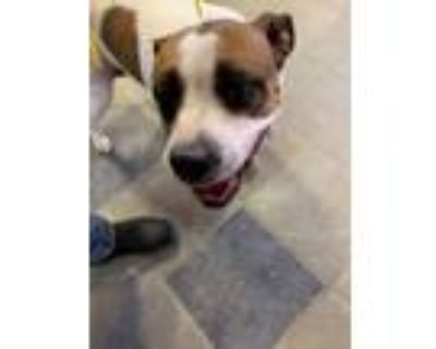 Adopt 48342820 a Pit Bull Terrier, Mixed Breed