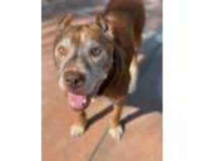 Adopt Mr. Roper a Pit Bull Terrier