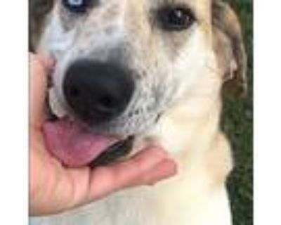 Adopt Bella a White - with Tan, Yellow or Fawn Basset Hound / Mixed dog in