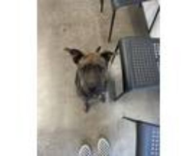 Adopt Girlie a Black - with Tan, Yellow or Fawn Belgian Malinois / American