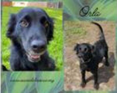 Adopt Orla a Labrador Retriever, Black Labrador Retriever