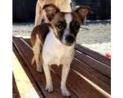 Adopt PIXIE a Tricolor (Tan/Brown & Black & White) Fox Terrier (Toy) / Mixed dog