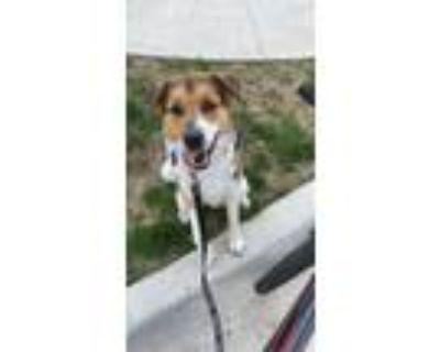 Adopt Mac a Brown/Chocolate St. Bernard / Mixed dog in Kansas City