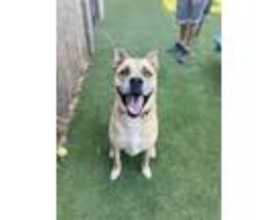 Adopt Morty a Mastiff, Pit Bull Terrier