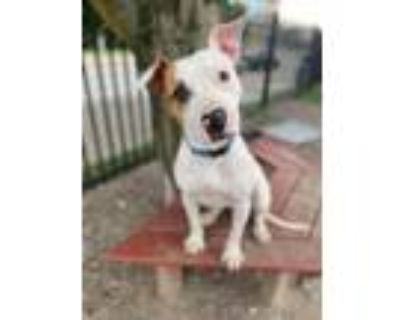 Adopt Quincy a Pit Bull Terrier
