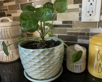 Chinese money plant with pot