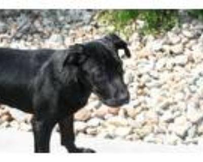 Adopt BURBERRY a Labrador Retriever, Boxer
