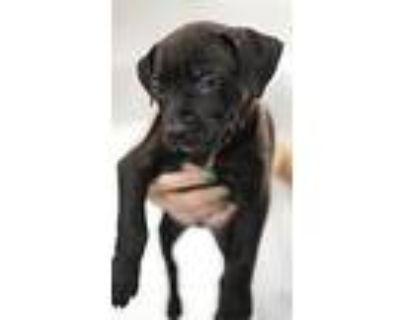 Black Noir (diesel), American Pit Bull Terrier For Adoption In Phoenix, Arizona