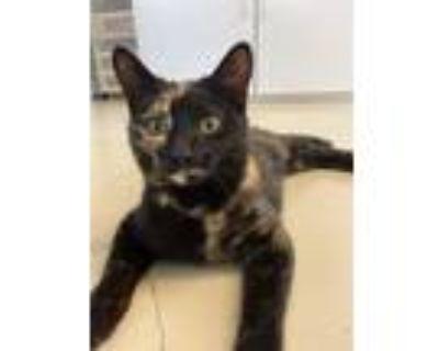 Adopt Suzi a Calico, American Shorthair