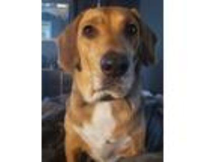 Adopt Charlie a Brown/Chocolate - with White Beagle / Labrador Retriever / Mixed