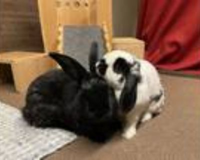 Adopt Sweet Caroline a White Other/Unknown / Mixed rabbit in Woburn