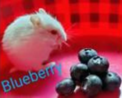 Adopt BLUEBERRY a Hamster