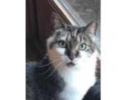 Adopt Rascal Flatts a Domestic Shorthair / Mixed cat in St. Paul, MN (30666463)